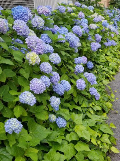 サザンモール六甲B612の紫陽花がキレイ時期です(^^♪